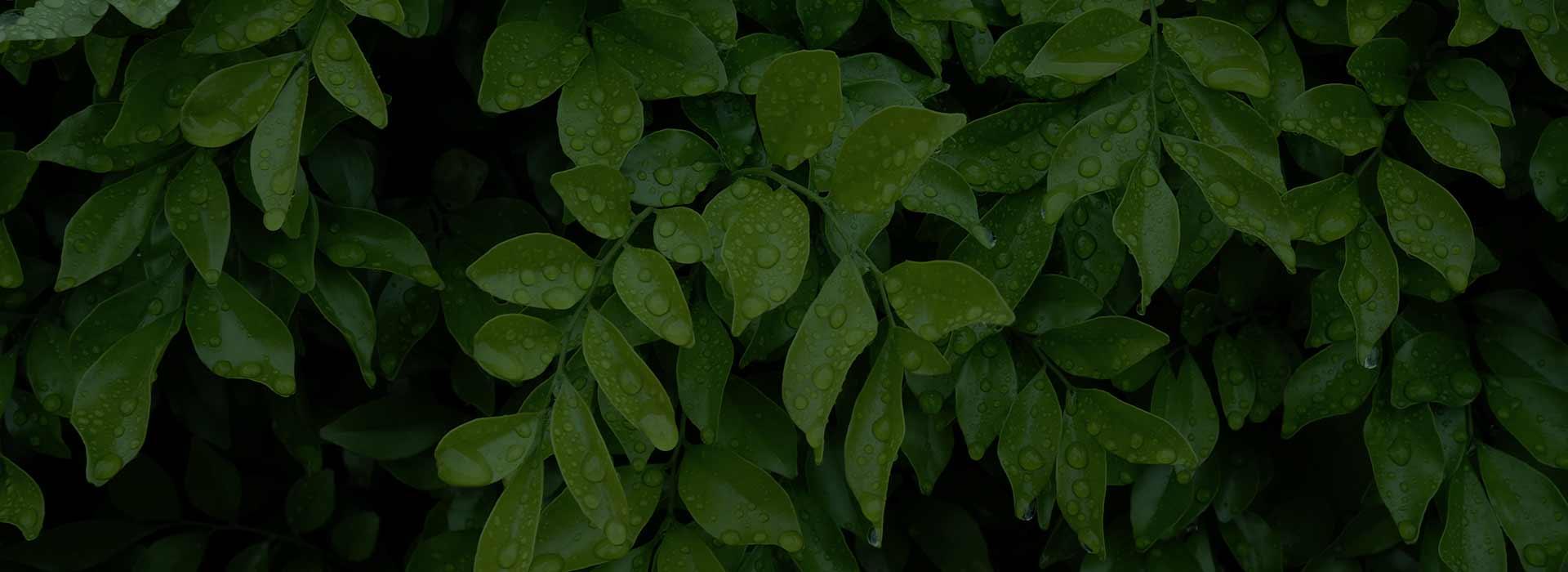 hero-rain-on-leaves-alt